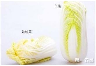 娃娃菜和大白菜怎么区别?娃娃菜怎么做好吃