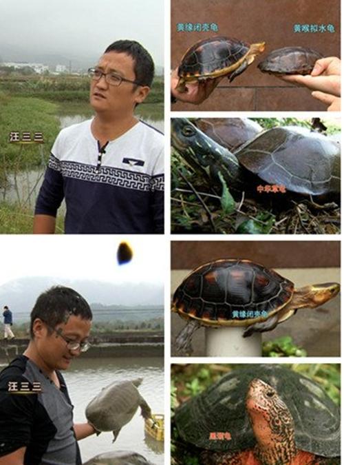 甲鱼跨界养乌龟 汪三三年赚千万元