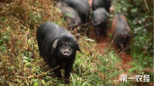 猪品种:爬山高手——乌金猪(图片)