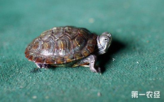 小乌龟怎么过冬 小乌龟冬天怎么养
