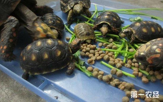 【专家解答】       乌龟是杂食性动物,鱼食也会吃,主要以动物