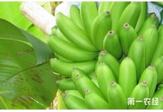 小米香蕉产地主要在哪?小米香蕉品种有哪些?