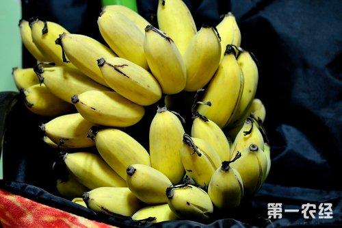 【小编结语】小米蕉也是生在芭蕉树上,它的外观与其它香蕉小的