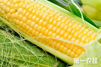 黑龙江玉米收购价格区间在0.61—0.75元/市斤