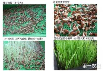 小麦草怎么种?小麦草的种植方法