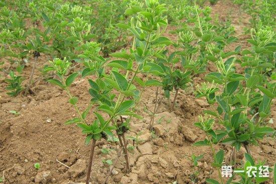 金银花苗木如何培育?