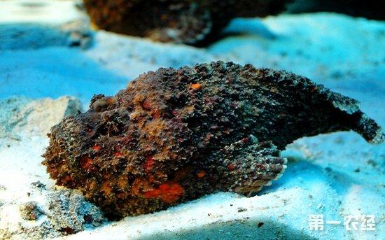 世界上最毒的动物之石头鱼
