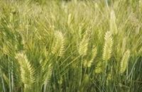 江苏泰州特产农作物:泰兴元麦