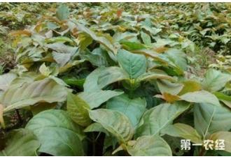 钩藤种植常见病虫害及其防治