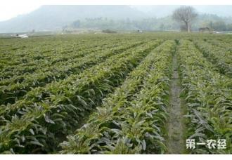 莴苣种植技术:莴苣膨大期怎么施肥?