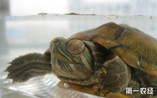 怎么知道乌龟要冬眠了 乌龟冬眠要放水吗