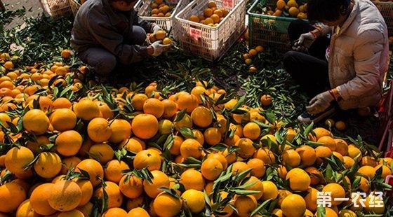 湖北省秭归县屈原镇西陵峡村村民在分拣采摘的脐橙。