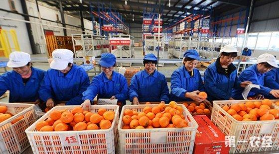湖北秭归脐橙深加工龙头企业屈姑农业集团的员工在分装鲜橙。