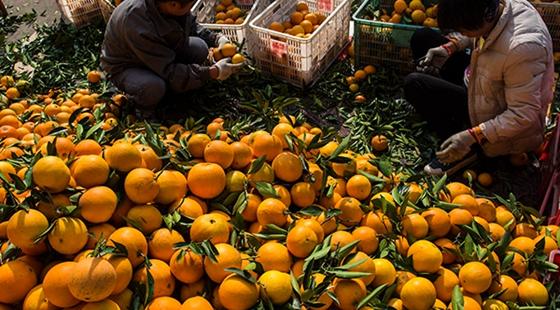 湖北秭归: 脐橙之乡迎来丰收季 农民采摘忙