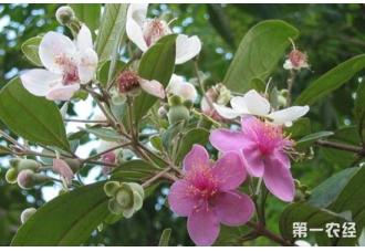 桃金娘是什么?桃金娘花的花语是什么?