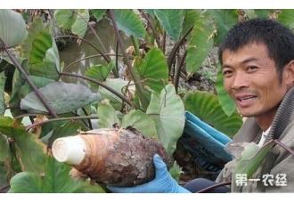 广西荔浦芋头几月上市?怎样辨别广西荔浦芋头