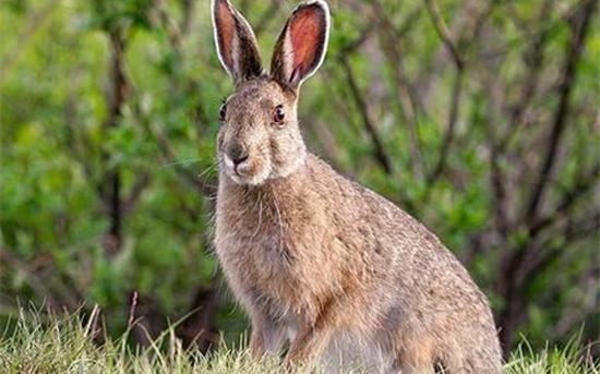 肉兔什么品种好?常见大型肉兔品种有哪些?(一)