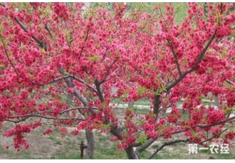 红叶碧桃是乔木灌木?红叶碧桃产地主要分布在哪?