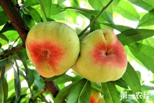 花园蟠桃 新疆石河子特产水果