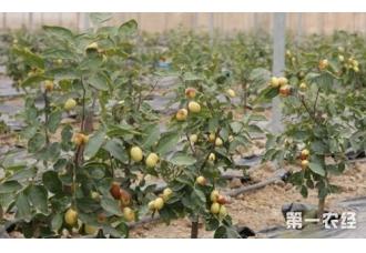 枣树几年结果?枣树品种有哪些?