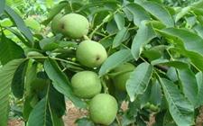 什么是麻核桃?麻核桃树怎么种植养护?