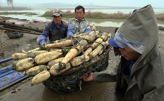 湖北嘉鱼县:大力发展莲藕产业 年产值4200万元