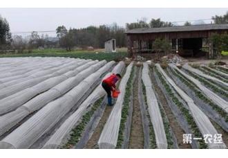 草莓如何越冬?冬季大棚草莓防寒保护措施
