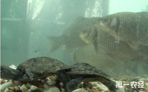 鱼鳖混养致富