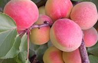 甘肃平凉特产水果:灵台牛心杏