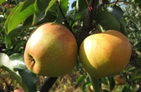 黑龙江牡丹江特产:东宁苹果梨