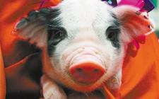 引进外国猪种的利与弊