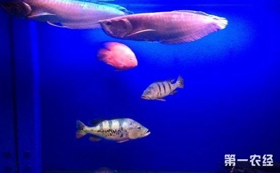 鹦鹉鱼和什么鱼混养好 鹦鹉鱼混养最佳搭配图片