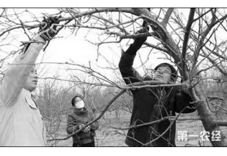 这六种特殊情况下的苹果树修剪方法