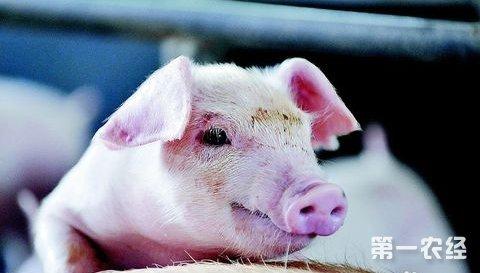 猪口蹄疫病 五号病 如何防治