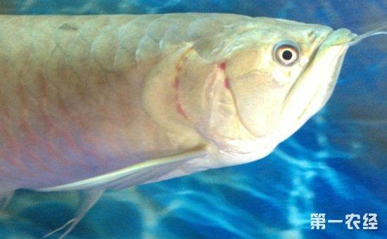 银龙鱼常见病图片(一) - 动物