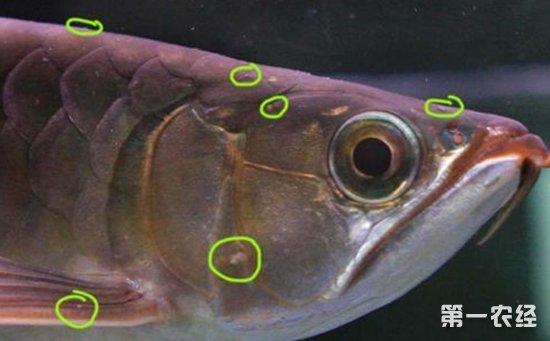 龙鱼三个月个时间变化大家帮忙看下 杭州水族批发市场 杭州龙鱼第16张