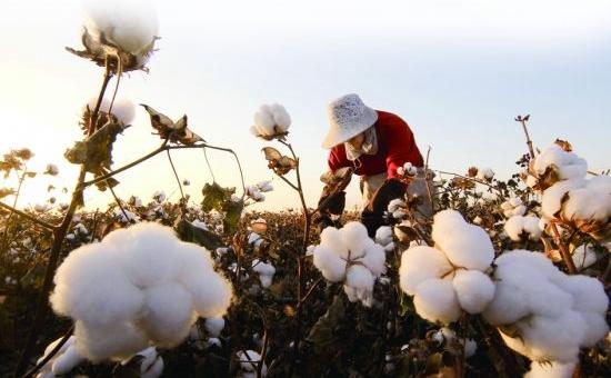 2016年新疆棉花价格补贴究竟能补多少?