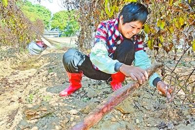 广东新兴天堂镇:大力推广培植紫色山药走上致富路