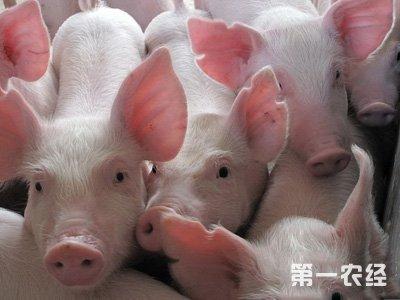 猪吃什么长得快? 中草药预防疾病增效益