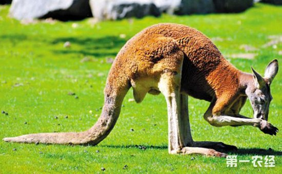 【小编总结】      动物尾巴的作用,最常见的是平衡作用,在大