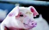 <b>大猪口蹄疫怎么治疗? 猪口蹄疫治疗方法</b>