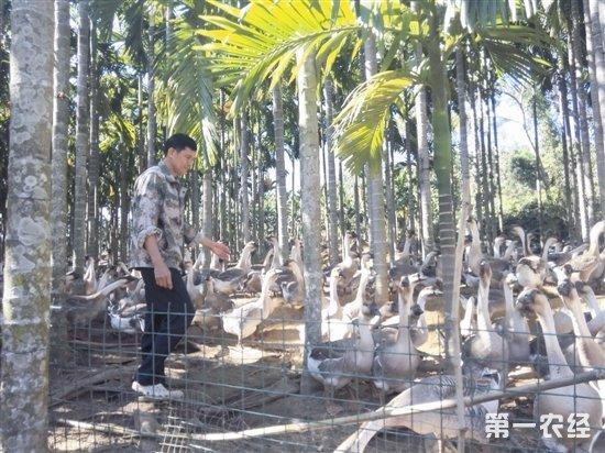 槟榔林下养山泉鹅 罗学忠特色养殖托起全村致富梦