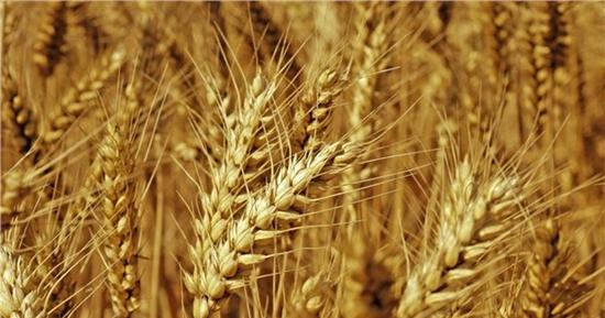 2016年中储粮:小麦托市收购为六省农民增收110多亿元