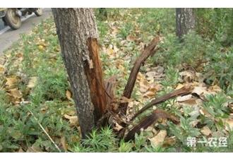 杨树烂皮了怎么办?杨树腐烂病如何防治?