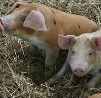 猪流感以及猪瘟引起的猪发烧怎么治?