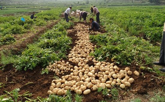 2017年马铃薯实施大田种植补贴 每亩补贴100元