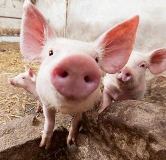 <b>农村养猪技术:小偏方巧治猪病</b>