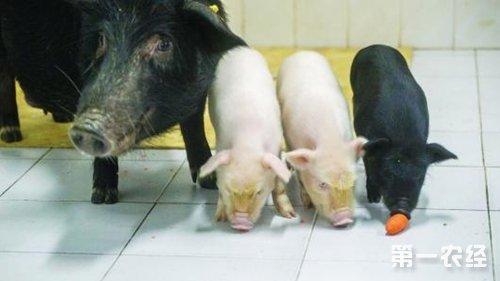 """""""药用猪""""再获突破   全球首例白化西藏小型猪培育成功"""