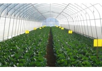 大棚甘蓝高产栽培技术,大棚种植甘蓝技术要点