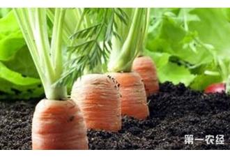 胡萝卜一年可以种几茬?胡萝卜四季都可以播种